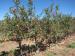 Julian_AppleTrees
