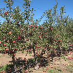 Julian_AppleOrchards
